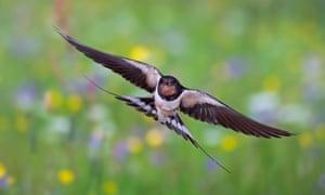 A barn swallow in flight.