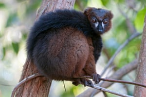 A male red-bellied lemur (Eulemur rubriventer) with its tail wrapped around its body, in Ialasatra, Madagascar