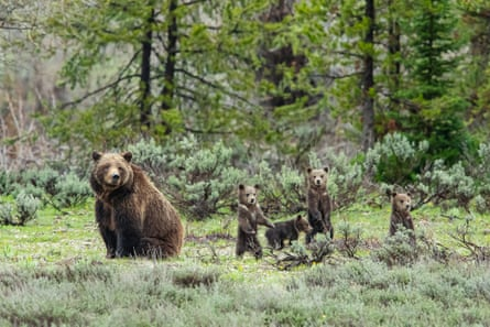 399 and her four cubs rest among sagebrush.