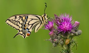The swallowtail butterfly was once found on marshland across southern England.