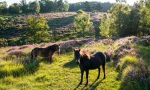 Exmoor ponies in heathland at dawn, Ashdown Forest, Sussex, England