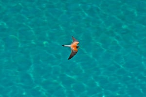 A falcon carries its prey in its beak as it flies over Arvanitia beach in Nafplio, Peloponnese, Greece