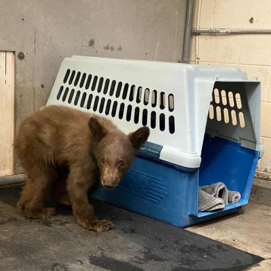 A bear cub injured in the Dixie fire.