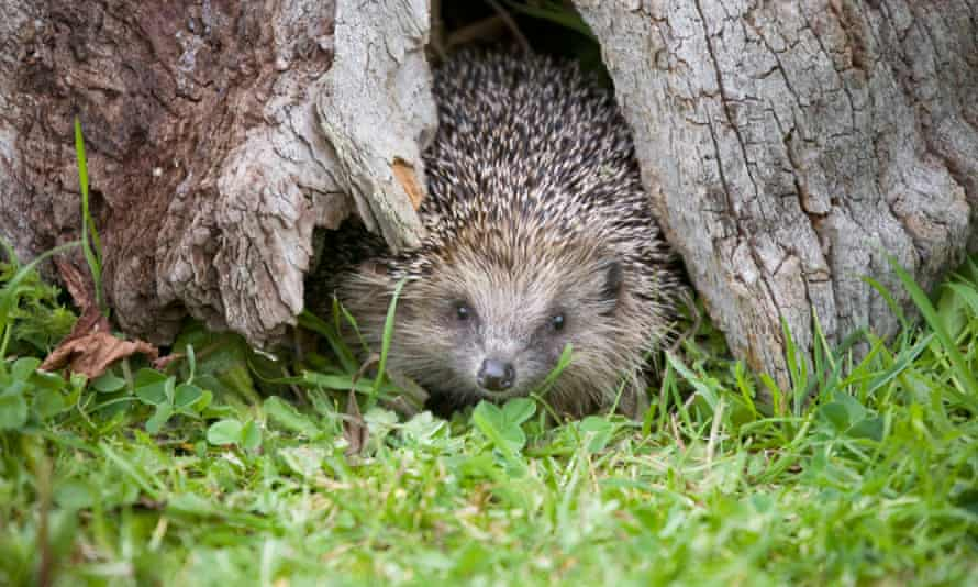 Modern life can be lethally dangerous for the hedgehog ...