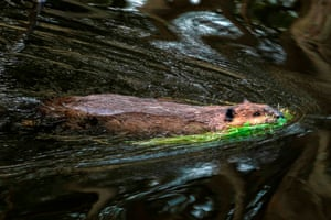 A beaver swims in the forest near Puerto Williams, Chile