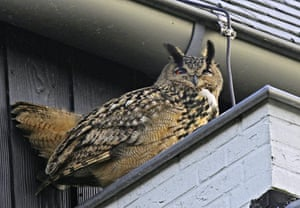 An eagle owl sits under the eaves of a building in Purmerend, Netherlands.