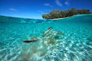 Stingray at Heron Island off the Great Barrier Reef Australia