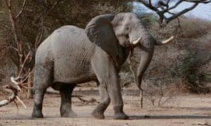 African Elephant In Sango