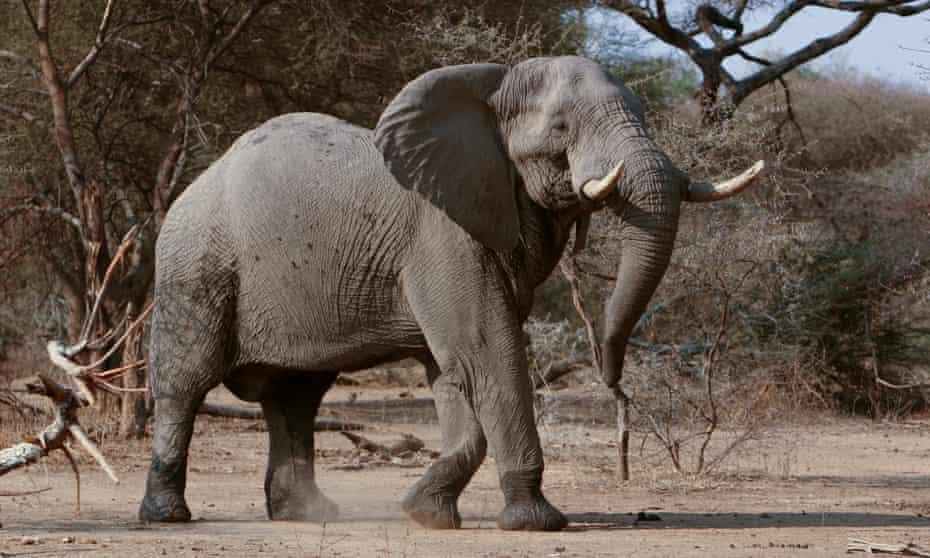 African elephant in Sango.