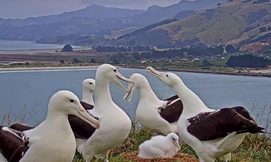 New arrival: adults stand arund a new chick as seen on the Royal Albatross Cam.