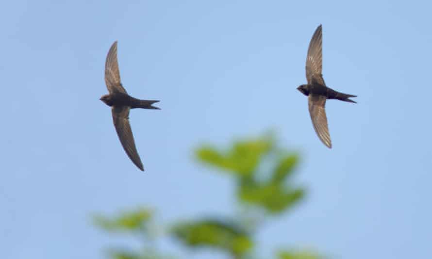 The common swift in flight.