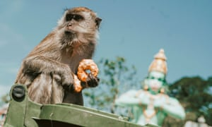 A macaque eats pensively while on a bin.