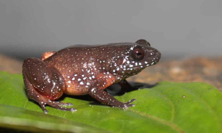 Astrobatrachus kurichiyana , the starry dwarf frog discovered in 2019.