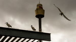 An ibis swoops into ominous grey skies, the Westfield Tower behind it, as two others keep watch for haters