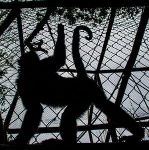 A spider monkey in a cage at a primate rehabilitation centre in Peñaflor, Chile
