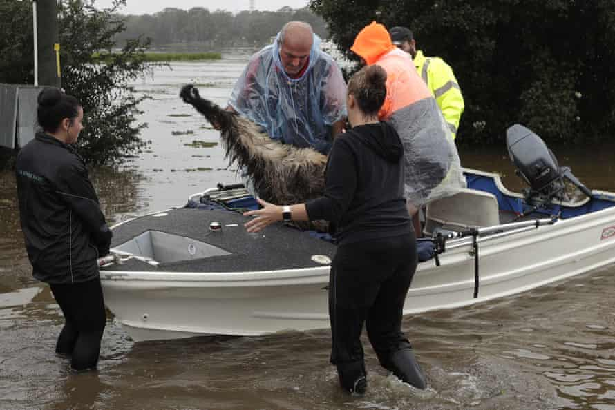 Paul Zammit, second from left, lifts his pet Gookie emu out of a boat after rescuing her from the floodwaters.