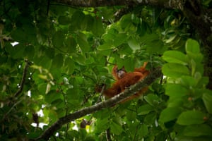 A wild orangutan in a tree in Aceh province, Indonesia. Orangutans are critically endangered with only about 6,000 Sumatran orangutans remaining.