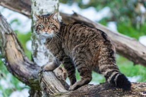 The Scottish wildcat features on many clan crests and is a part of Scottish folklore. There could be as few as 100 in the wild. They are a protected species but so heavily outnumbered by domestic cats that it's difficult for them to find and mate with another wildcat, and instead they often mate with domestic cats and have hybrid kittens. These hybrids have mixed wildcat and domestic cat ancestry and as hybridisation continues with each successive generation, the wildcat genes are being diluted. Nominated by: Scottish Wildcat Action