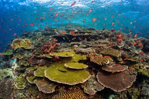 A pristine coral reef surrounded by fish at famous dive site, Batu Bolong, in Komodo national park, Indonesia.