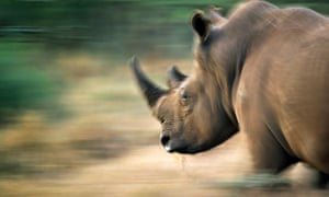 Right foreground shows head and shoulders of an adult Rhino in crisp focus; the rest of the picture is a motion blur of grassland colours, beige and green.