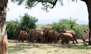 A herd of elephants run from bee sounds in Samburu National Park in Kenya.