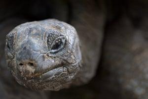 An Aldabra giant tortoise on Curieuse, Seychelles