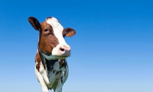 Cow standing against a blue sky
