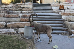 A Nubian ibex snoops around in a dustbin