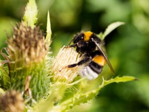 A buff-tailed bumblebee worker on cabbage thistle