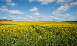A field of oilseed rape. Few genetically modified crops have been grown in the UK, but scientist hope gene editing will not be so controversial.