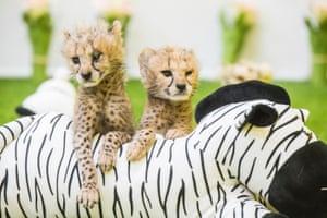 A pair of cheetah cubs in Yongin, South Korea