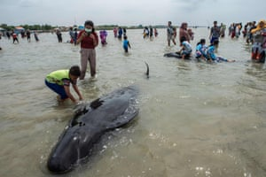 People try to save short-finned pilot whales beached in Bangkalan, Madura island. Dozens of pilot whales died after a mass stranding on the coast of Indonesia's main island of Java that sparked a major rescue operation.