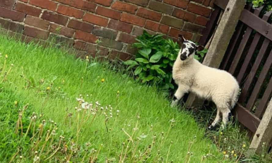 The lamb Amy Scollen found in her garden