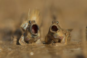 Mudskippers got talentDaniel Trim wins highly commended for his two mudskippers fighting over territory in Krabi, Thailand.