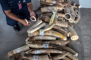 A customs officer inspects confiscated elephant tusks during a press conference in Sepang, Malaysia