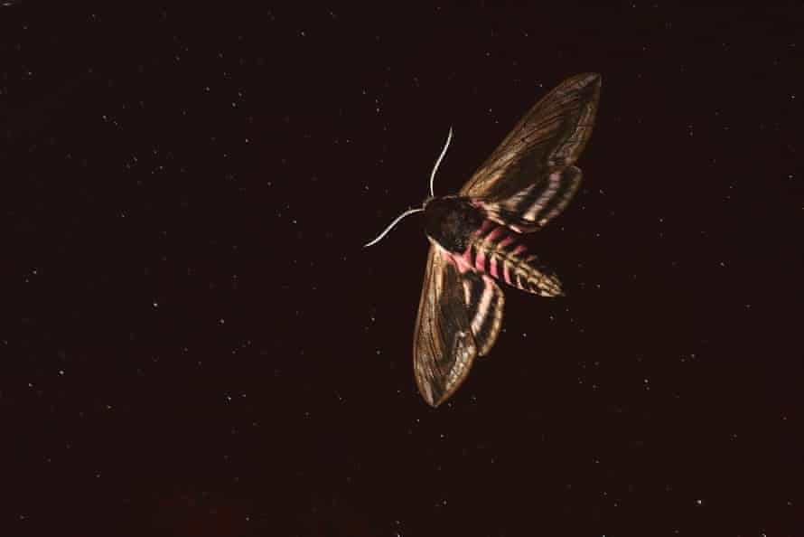 A privet hawkmoth in flight at night in Hungary