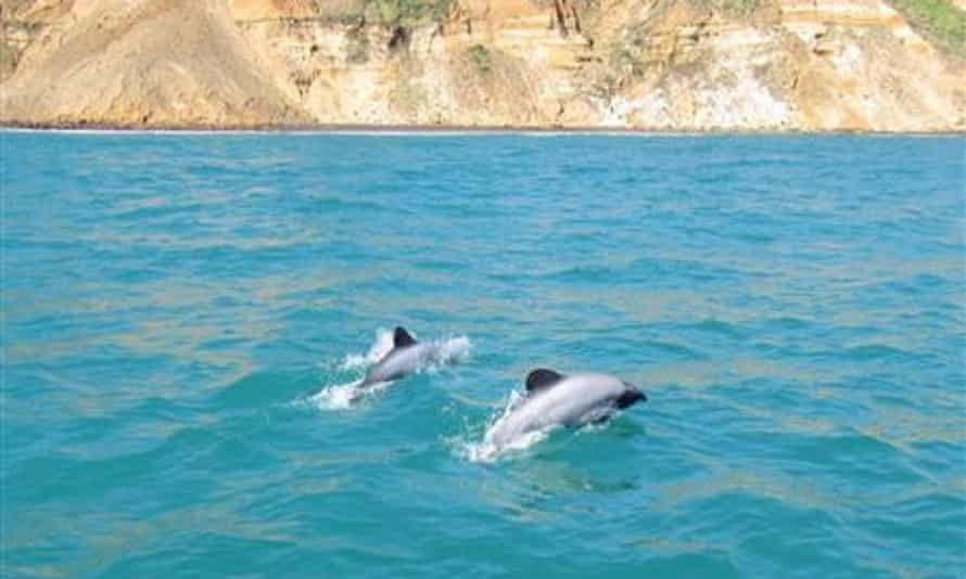 Critically endangered Māui dolphins in New Zealand