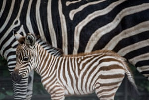 <strong>Prague, Czech Republic </strong>A newly born Zebra baby stands next to her mother at the zoo. The baby Zebra was born during the morning hours and its sex and name is still unkown