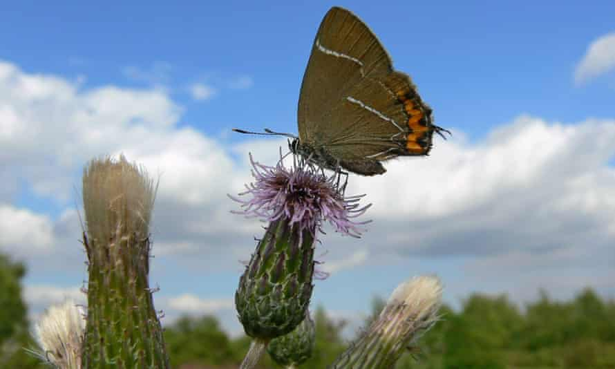 The population of white-letter hairstreak butterflies has dropped by 96% in the last 40 years.