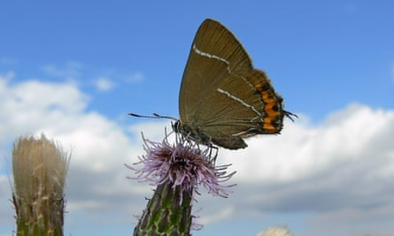 White-letter hairstreak butterflies mostly flutter around the tops of trees. They lay their eggs on elm.