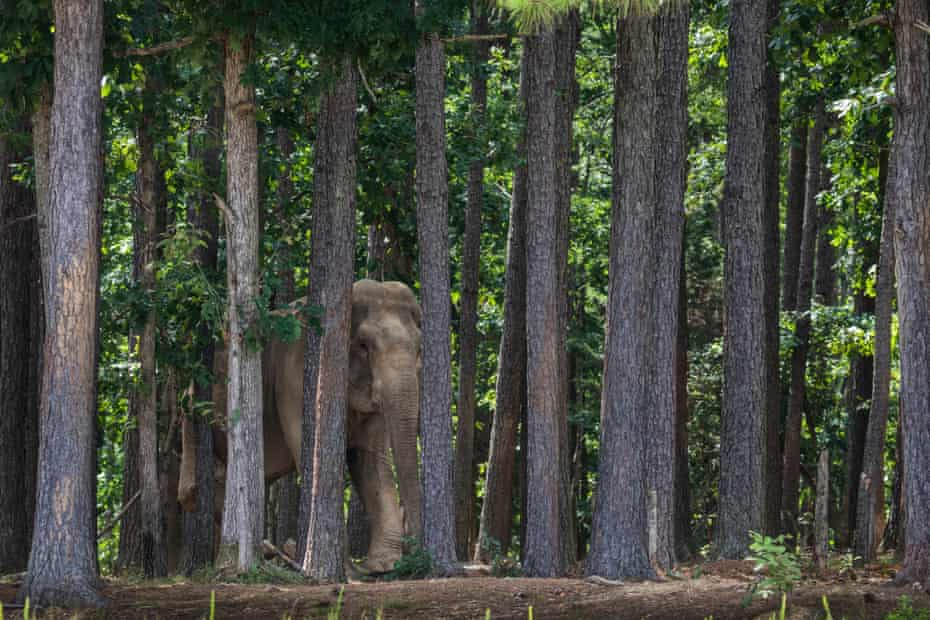 Shirley seen through the pines at the Elephant Sanctuary