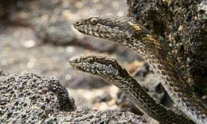 Galapagos racer snakes lurk beneath the rocks.