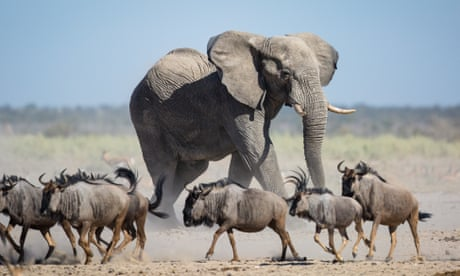 'Fantastic day for elephants': court rejects ivory ban challenge