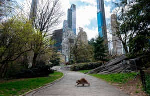 A raccoon walks in an almost-deserted Central Park in New York on 16 April.