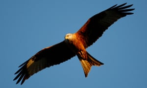 A red kite flying over the Chiltern Hills in England. Peter Davis reversed the bird's decline and allowed it to be reintroduced to large swathes of Britain.