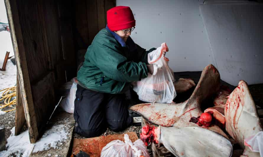 Eva Kevovach gathers beluga whale meat to give to elders.