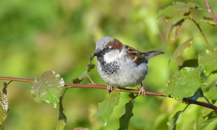 Male house sparrow in full summer dress