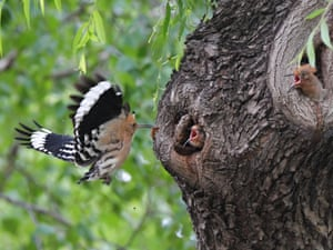 A Eurasian hoopoe, Upupa epops, feeds its young in Harbin, China