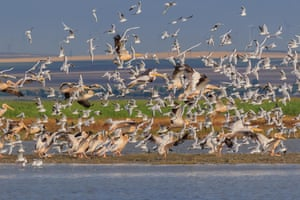 White pelicans and seagulls in flight in the Danube Delta, Romania.