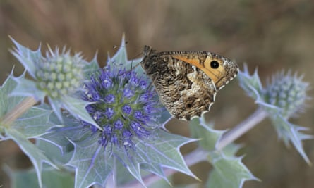 A grayling adult on sea holly, Norfolk.